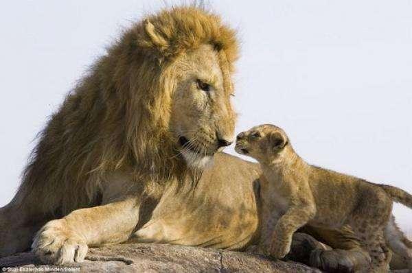 noticias Conmovedor: bebé león conoce por primera vez a su papá